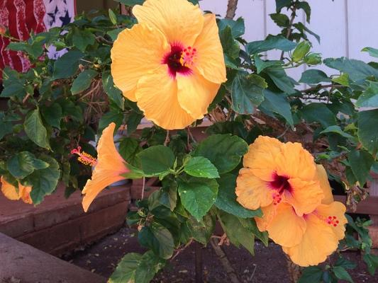 Dreamlike garden in Kaumakani... the Hibiscus flower ? is the State flower of Hawaii... this plant has beautiful yellow and red blossoms. There are many different colors of Hibiscus growing in our State...