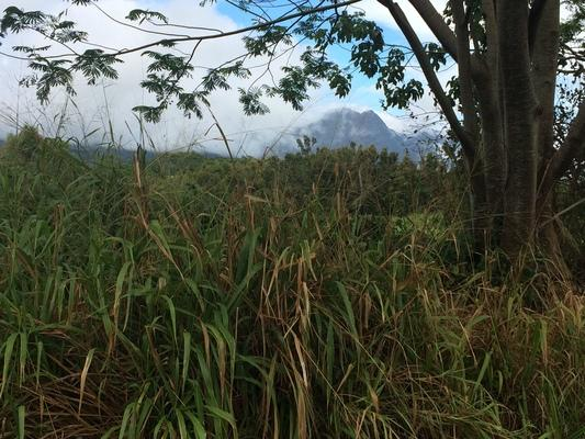 Grass... feed for cattle, trees with mountains and clouds in Kaumakani, HI... island of Kauai...