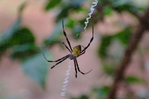 Dreamlike Garden ❤️ A banana spider spinning its web in a Hibiscus plant in Kaumakani... very industrious... one of many different spiders on Kauai...