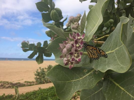 ❤️❤️❤️ A monarch butterfly on a sea bush by Kekaha Beach... butterflies have a very special place in my Grit's heart and mine as well...