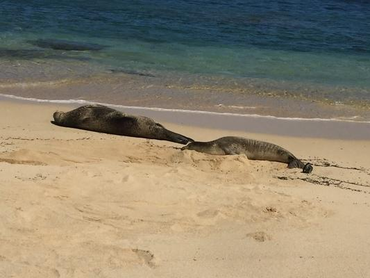 Two resting Monk Seals at Nanina Beach on Niihau... the seals feed at night and rest on the sand during the day, safe from sharks... these two were very playful at times on this day...