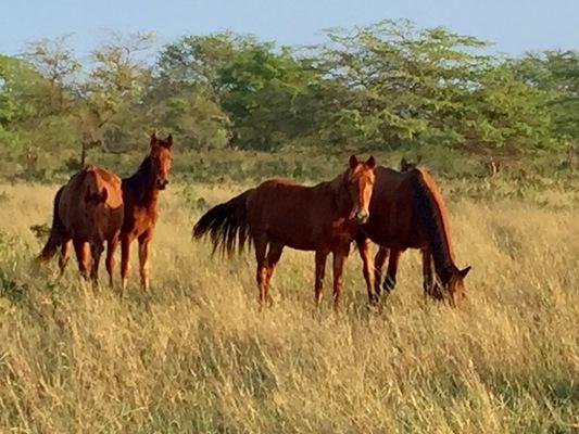 Curious horses in the pasture on a wonderful morning on Niihau...