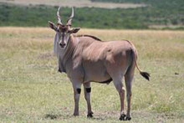 An Eland... the largest Antelope on the African continent... also the largest antelope on Niihau... the owner of the island imported some from another island with an exotic animal population. There are now approximately 1,400 of them on Niihau... a majestic animal...