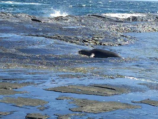 A juvenile Monk Seal resting on the reef after eating and playing with another Monk Seal in the water this morning...