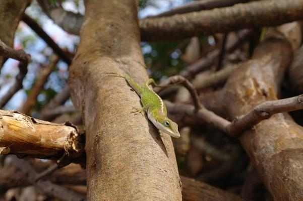 Hawaii Green Anole will turn yellow after it feeds.