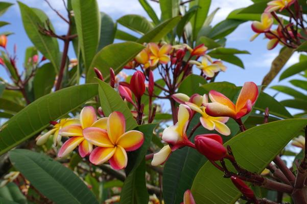 beautyful color plumeria, hawaii plant with passionate smell, Kauai
