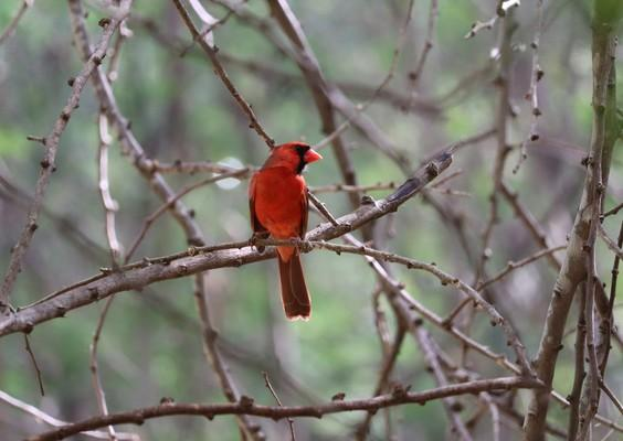 red cardinal, Northern cardinal , cardinalis cardinalis, common cardinal, hawaii, kauai, pakalas found