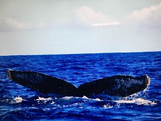 Hawaii, Kauai humback whale tail.